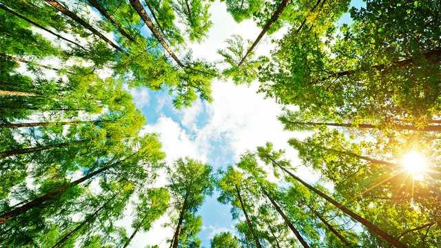 hero-ring-of-trees-looking-up